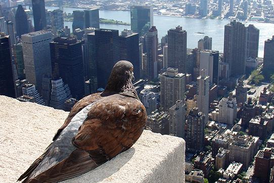 Taube mit Blick auf das UN-Gebäude in New York. Foto: ZeroOne / creativecommons.org/licenses/by-sa/2.0/